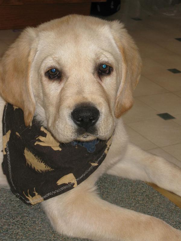 AKC English Labrador puppys for sale   Located in Allegan MI