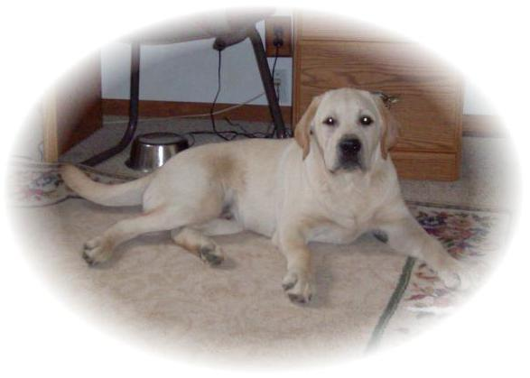 Kt English Lab Dogs And Puppies For Sale In Pocahontas Arkansas
