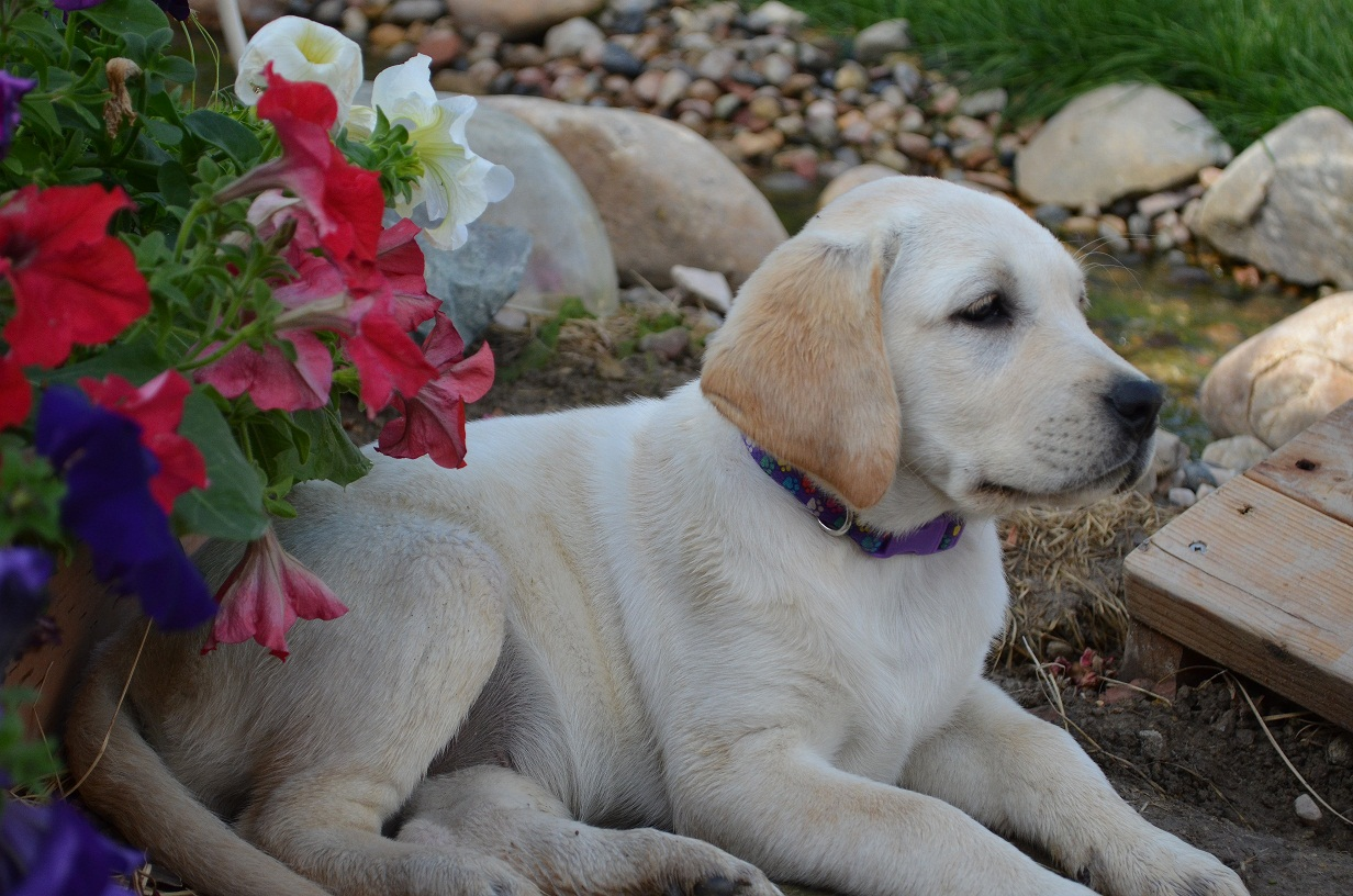 AKC English Labrador puppys for sale   Located in Allegan MI We may